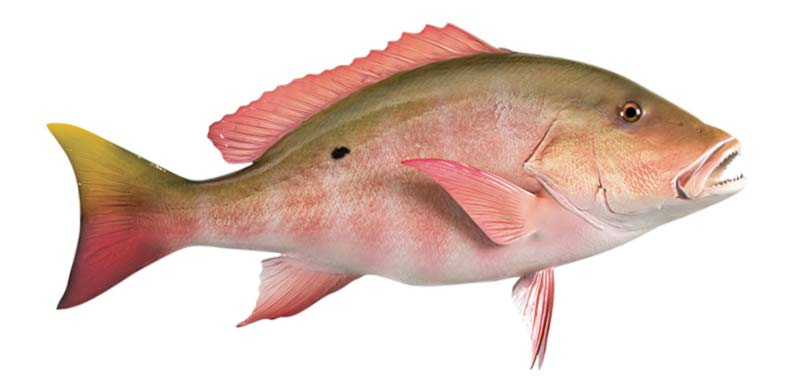 Mutton Snapper fish